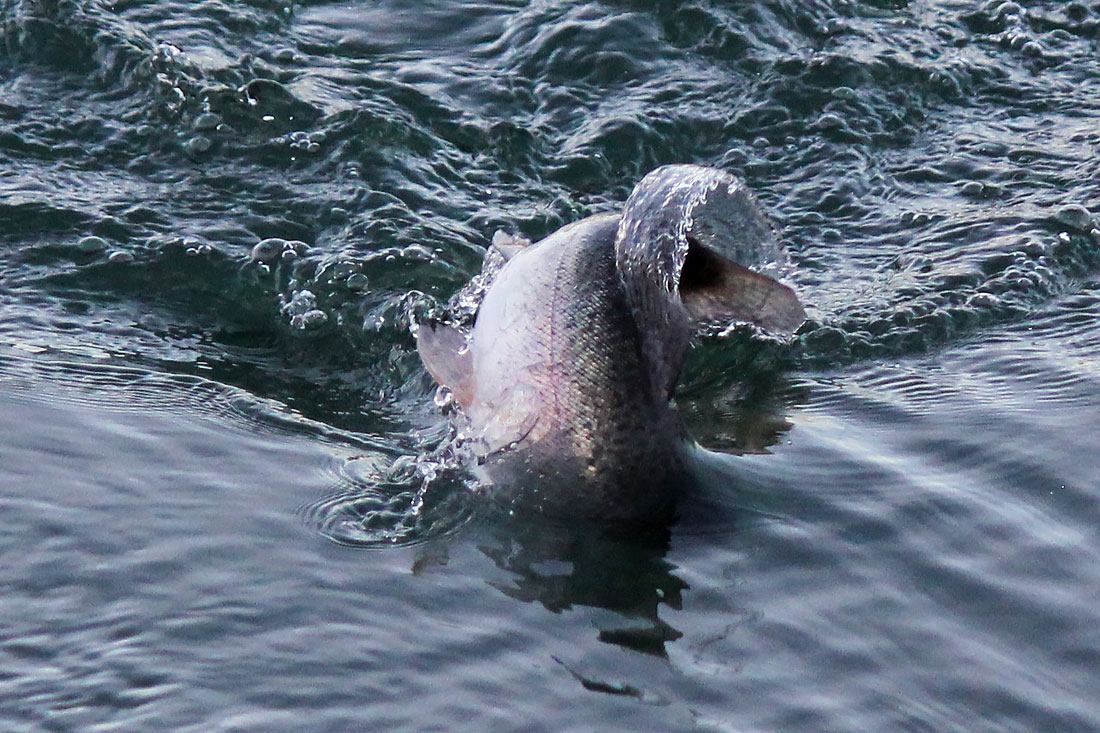 Cattura di una trota al Lago Cantone